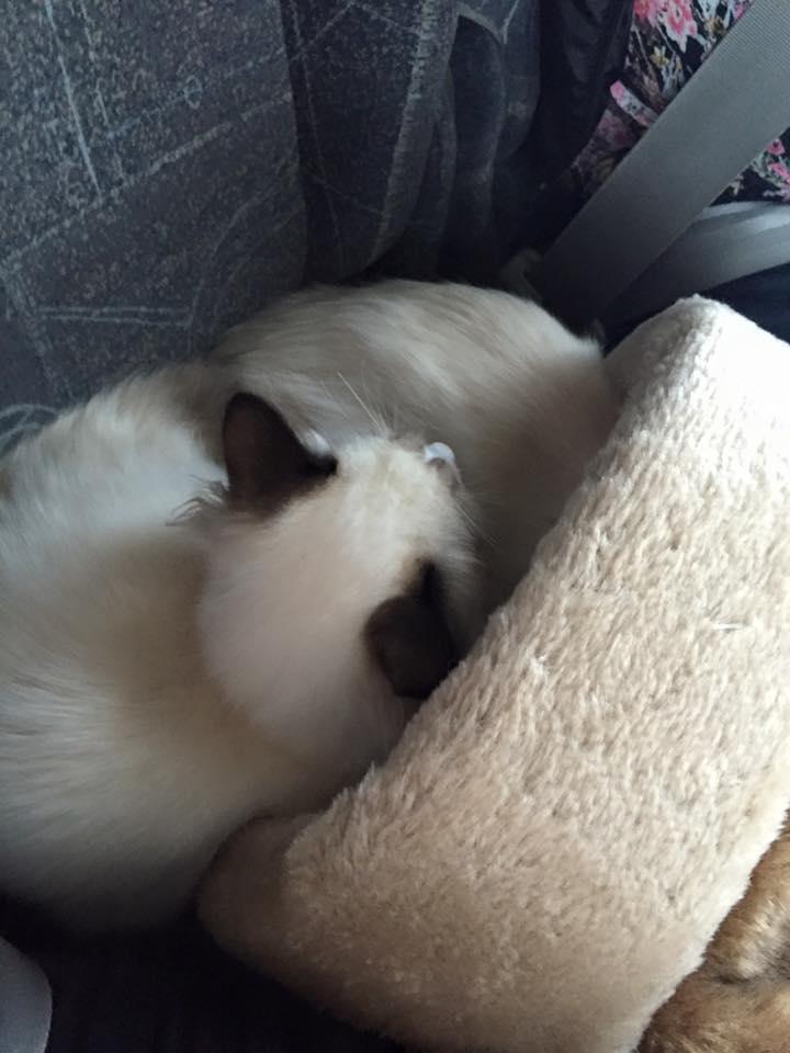Kat vervoeren met of zonder reismand - Vervoeren van een trappenhuis ...