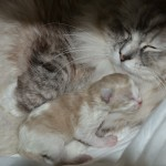 Mauws en Mimi - Ragdoll Seal Mink Bicolor