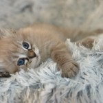 Mauws en Mimi - Ragdoll Seal mink lynx