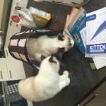 Ragdoll kittens unboxing suprisebox (10)