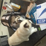 Ragdoll kittens unboxing suprisebox (11)