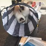Ragdoll kittens unboxing suprisebox (12)