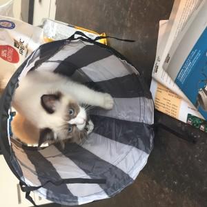 Ragdoll kittens unboxing suprisebox (13)