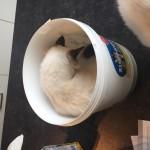Ragdoll kittens unboxing suprisebox (14)