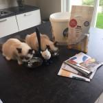 Ragdoll kittens unboxing suprisebox (17)