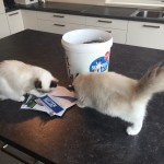 Ragdoll kittens unboxing suprisebox (6)