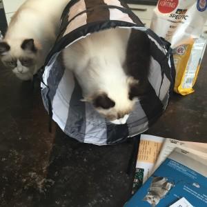 Ragdoll kittens unboxing suprisebox (9)