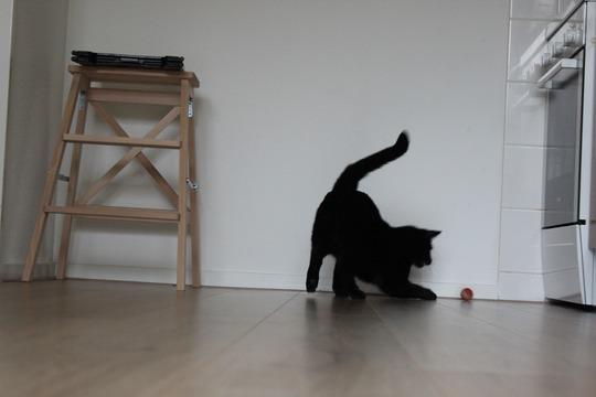 Mauws.nl - zwarte kat speelt met balletje Snickers