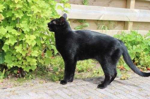 Mauws.nl - Snickers black cat spieratrofie
