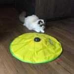 Ragdolls Mauws en Mimi testen kattenspeeltje Cat's Meow