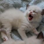 Mauws en Mimi Ragdoll kitten Seal Bicolor