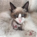 Mauws en Mimi Ragdoll Seal Bicolor