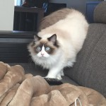 Mauws en Mimi kattenblog Ragdoll