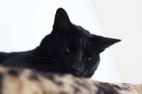 Mauws.nl-Snickers-black-cat1