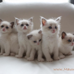 Mauws en Mimi Ragdoll kitten Seal Bicolor