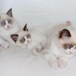Mauws en mimi - ragdoll kittens