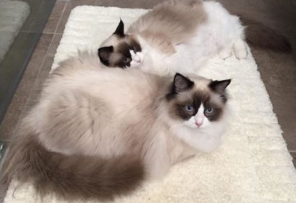 Mauws en mimi - ragdoll sisterlove
