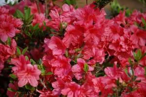 Mauws en Mimi - giftige kamerplanten voor katten - Azalea