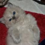 Mauws en Mimi - Ragdoll Blue Mink