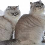 Mauws en Mimi - Ragdoll Blue Lynx Mink