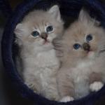 Mauws en Mimi - Ragdoll Blue lynx mink en blue mink