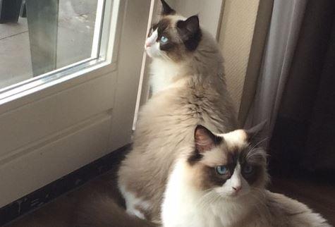 Ragdolls Mauws en Mimi