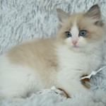 Mauws en Mimi - Ragdoll Seal mink bi-color