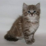 Mauws en Mimi - Ragdoll Seal point sepia lynx kitten